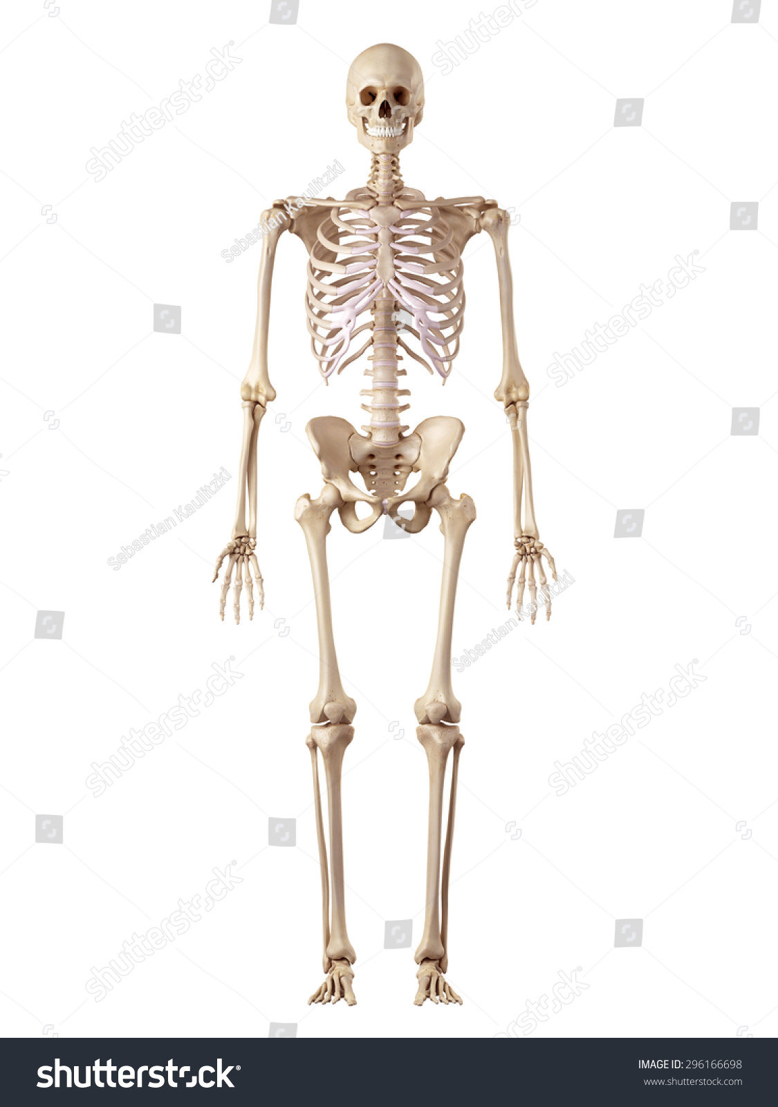 Medical Accurate Illustration Human Skeleton Stock Illustration