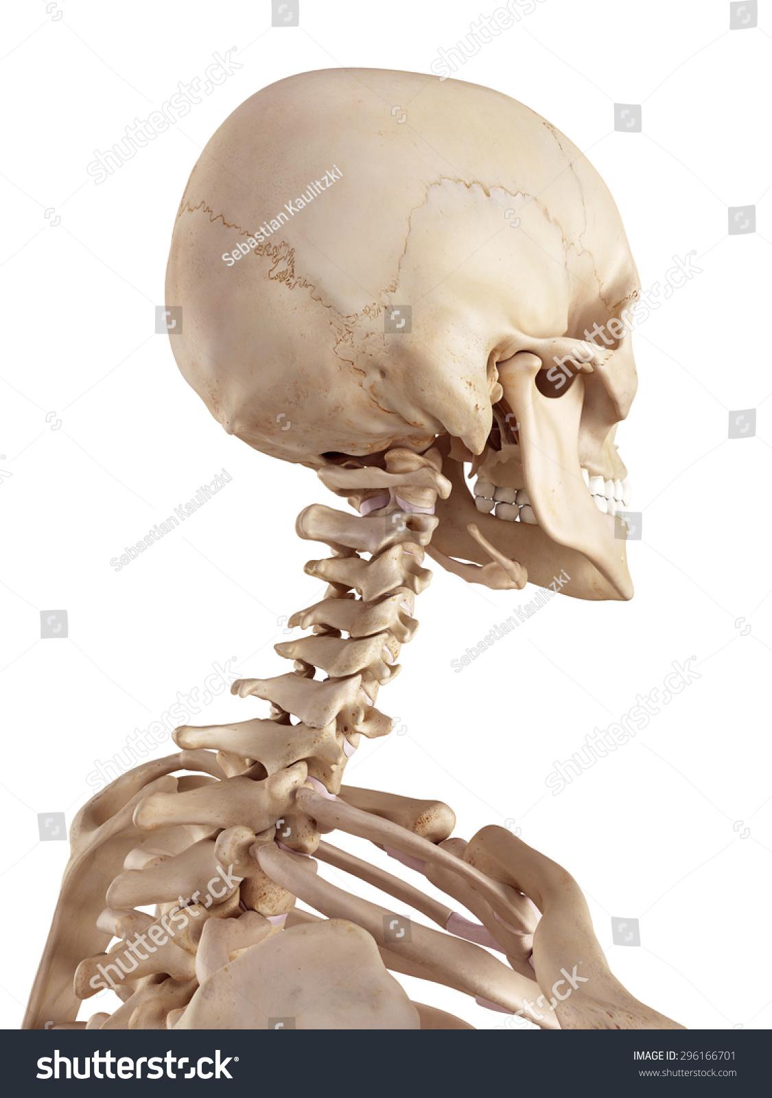Medical Accurate Illustration Human Skull Neck Stock Illustration
