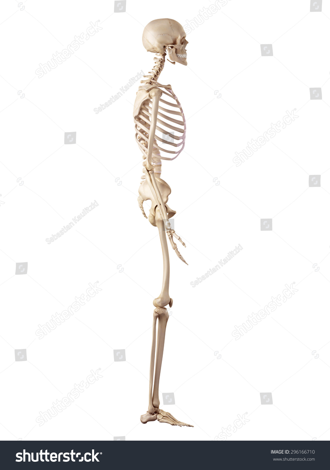 Medical Accurate Illustration Human Skeleton Stock Illustration