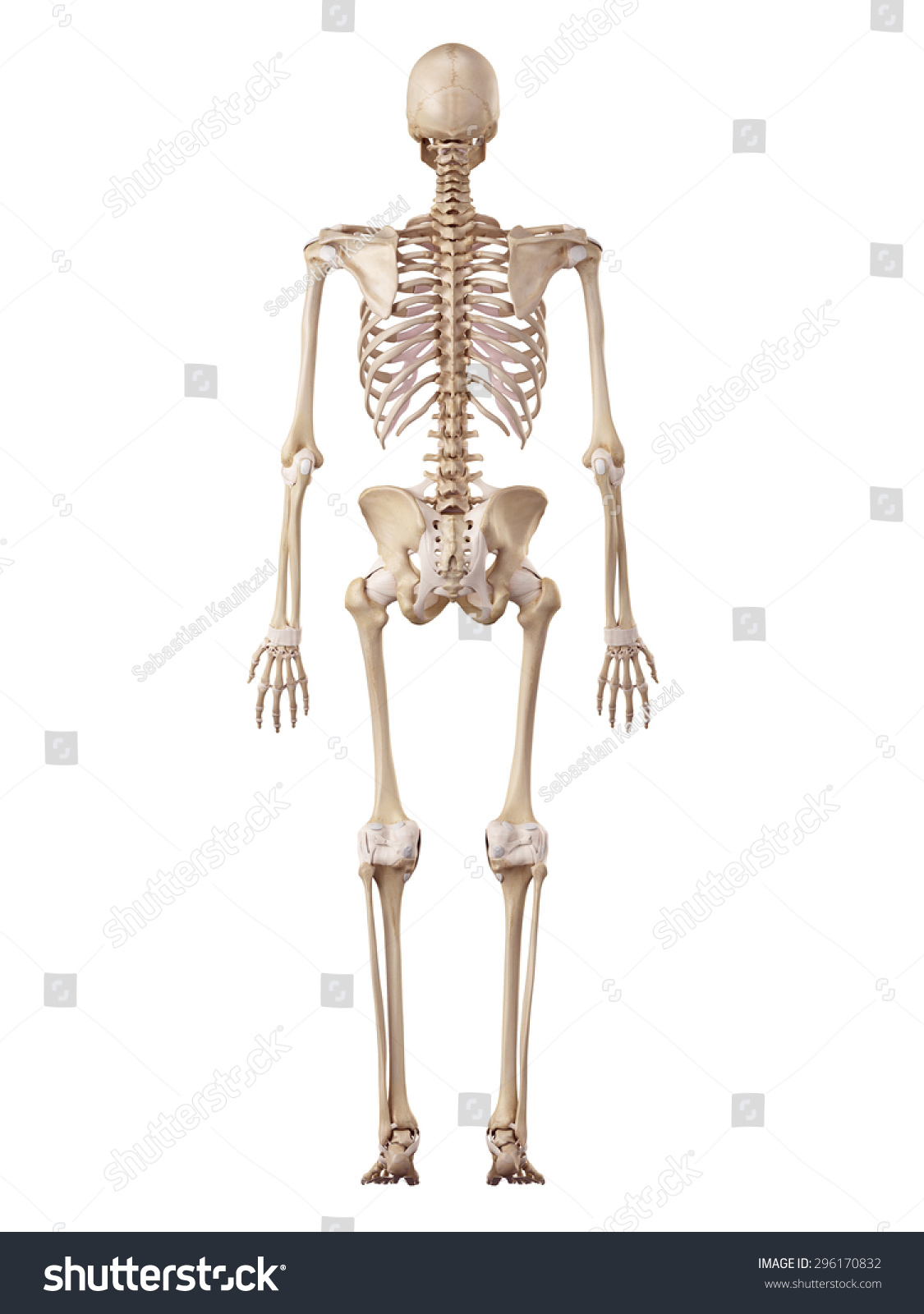 Human Skeleton From The Anterior View Didactic Board Of Anatomy Of