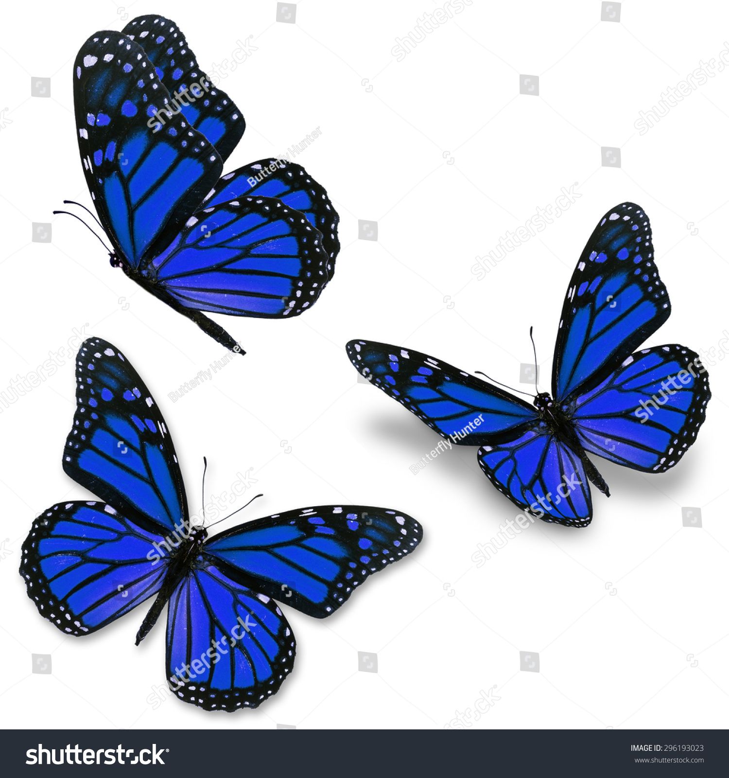 Three Blue Monarch Butterfly Isolated On Stock Photo ...