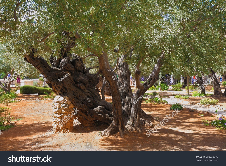 Footpath Between Old Olives Garden Gethsemane Stock Photo (Edit Now ...