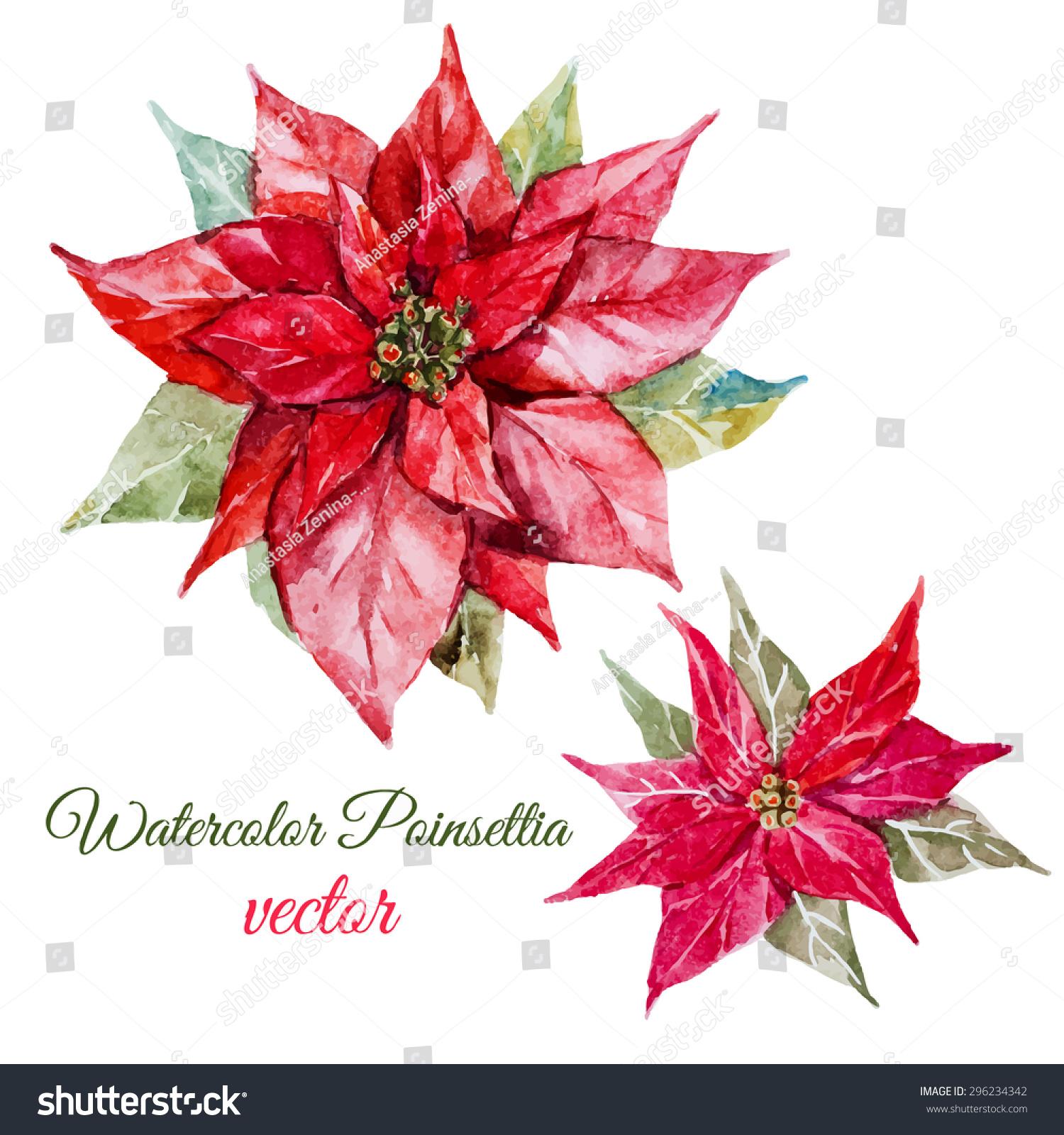Vector Watercolor Botanical Drawing Christmas Poinsettia Vector de ...