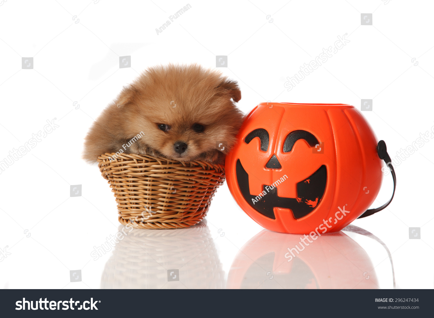 pomeranian spitz two month old puppie stock photo (edit now