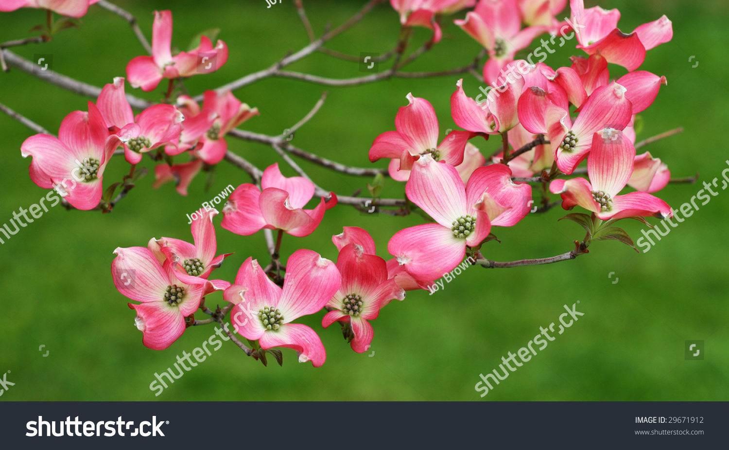 Pink Dogwood Tree Flowers Stock Photo Edit Now 29671912 Shutterstock