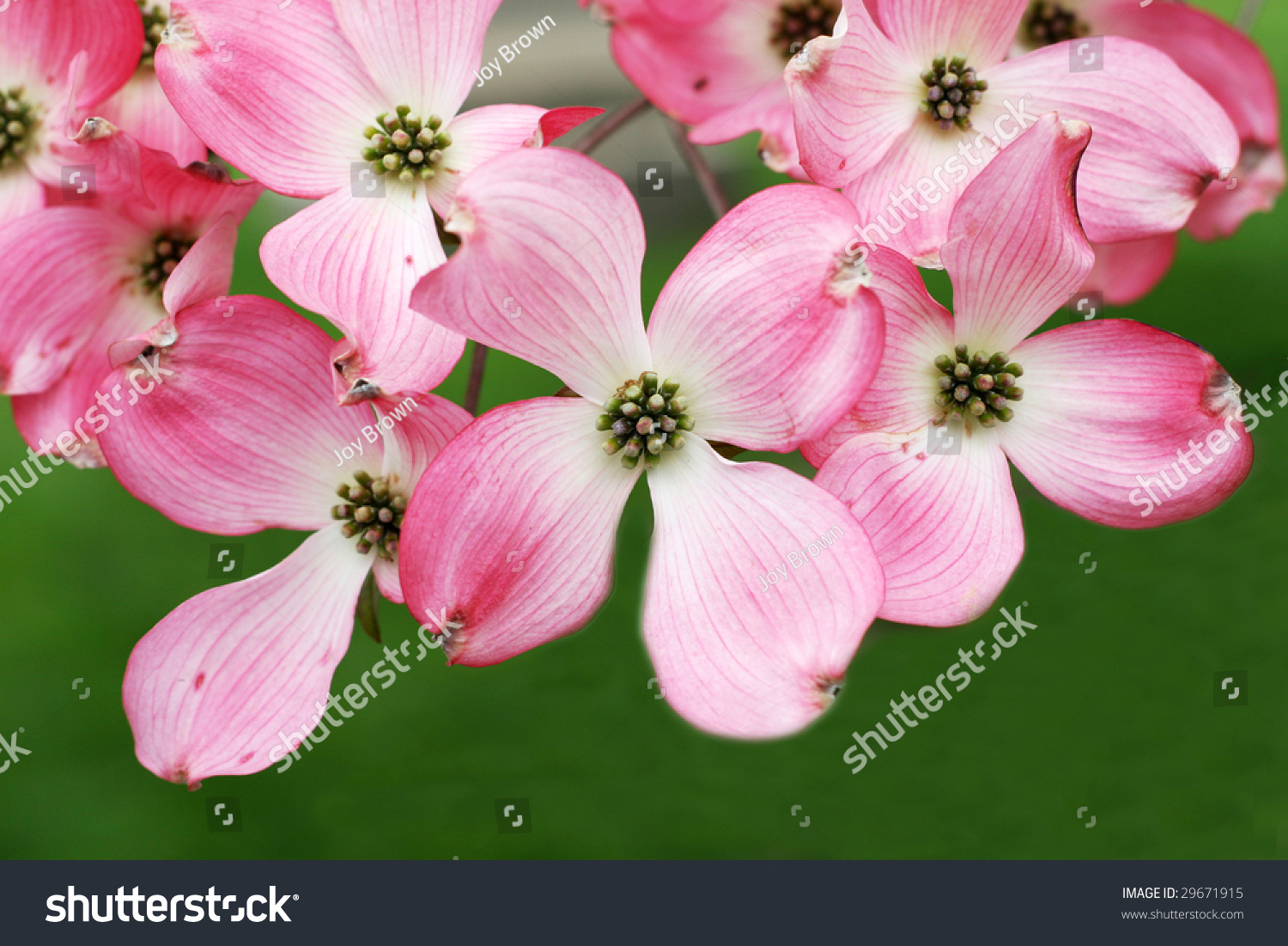 Pink Dogwood Tree Flowers Stock Photo Edit Now 29671915 Shutterstock