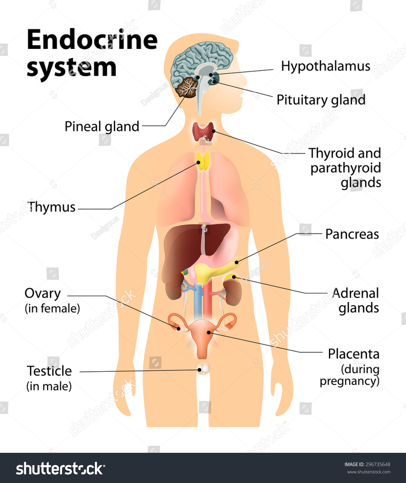 Royalty Free Stock Illustration of Endocrine System Human Anatomy ...