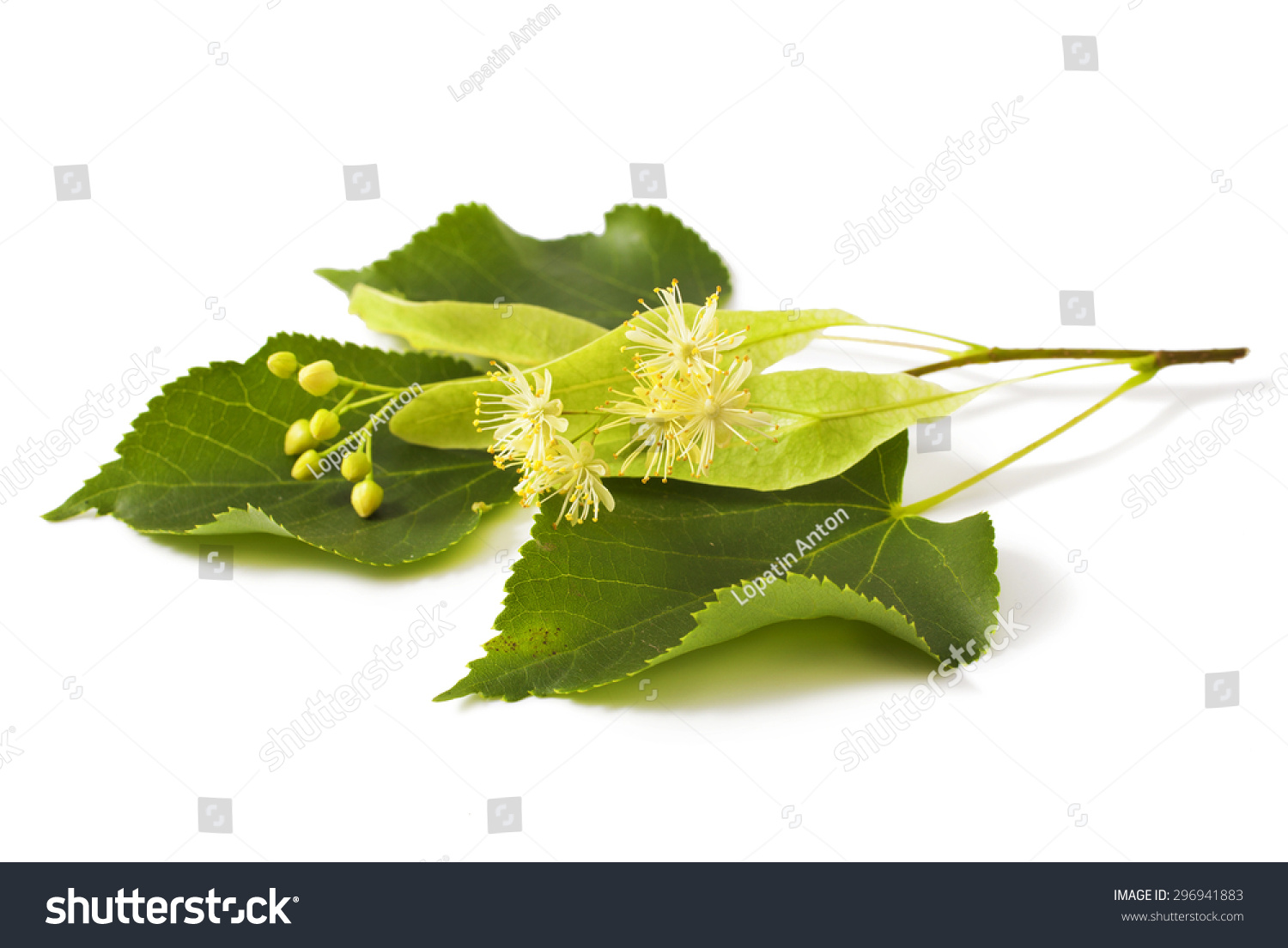Linden Leaf With Flowers Isolated White Background Stock