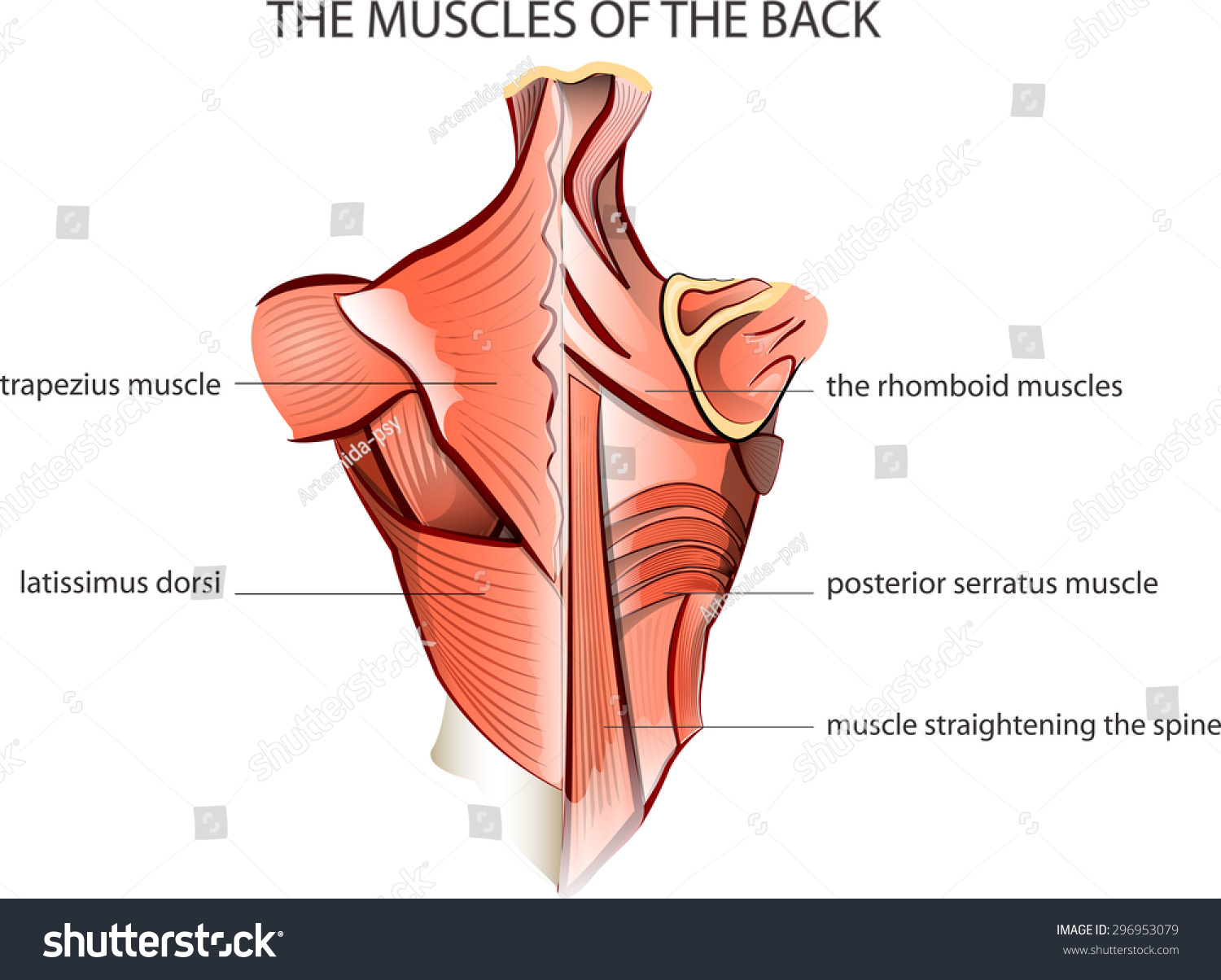 Illustration Muscles Back Anatomy Stock Vector 2018 296953079