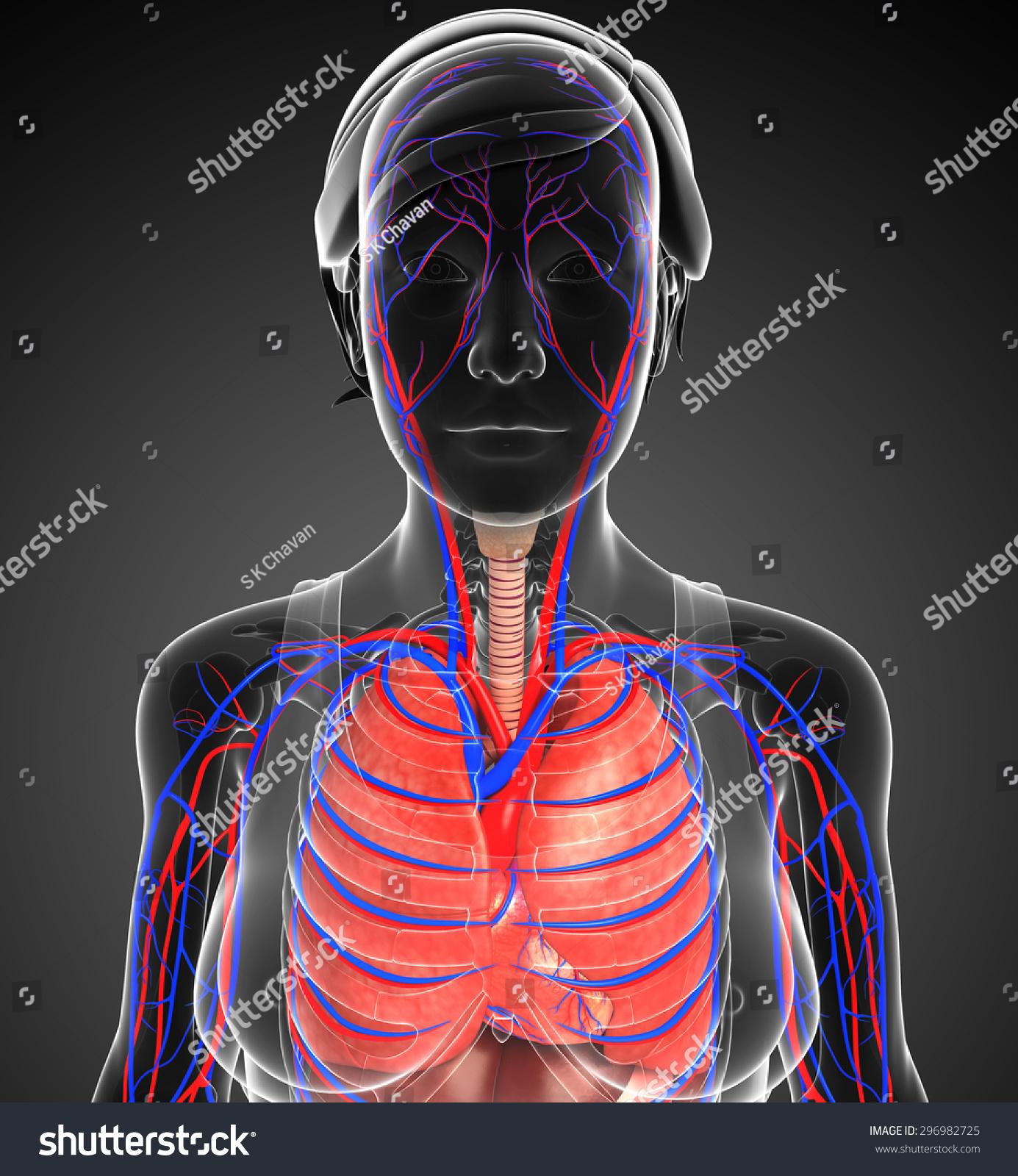 Illustration Female Respiratory Circulatory System Stock