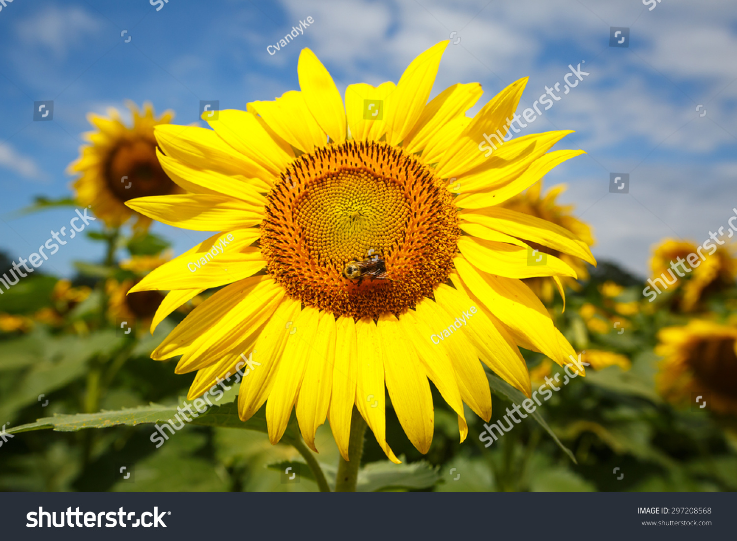 Big daisylike face bright yellow petals stock photo royalty free big daisy like face of bright yellow petals and brown center on tall annual izmirmasajfo