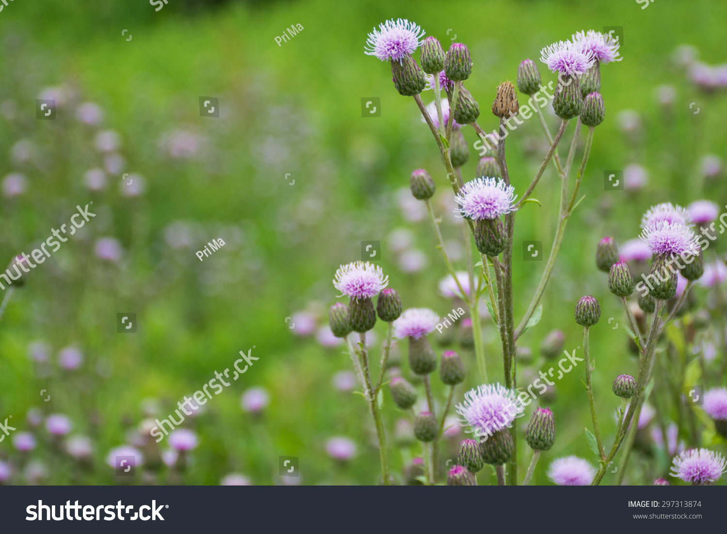 Ornamental Grass With Pink Purple Flowers Nature Background With