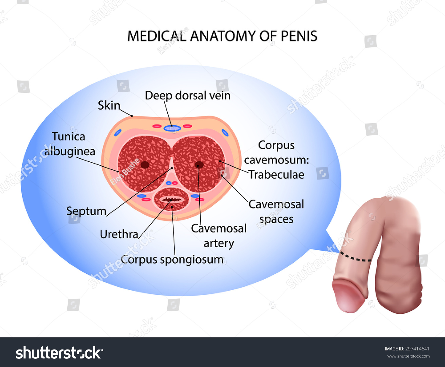 Male Penis Anatomy Stock Illustration 297414641 Shutterstock