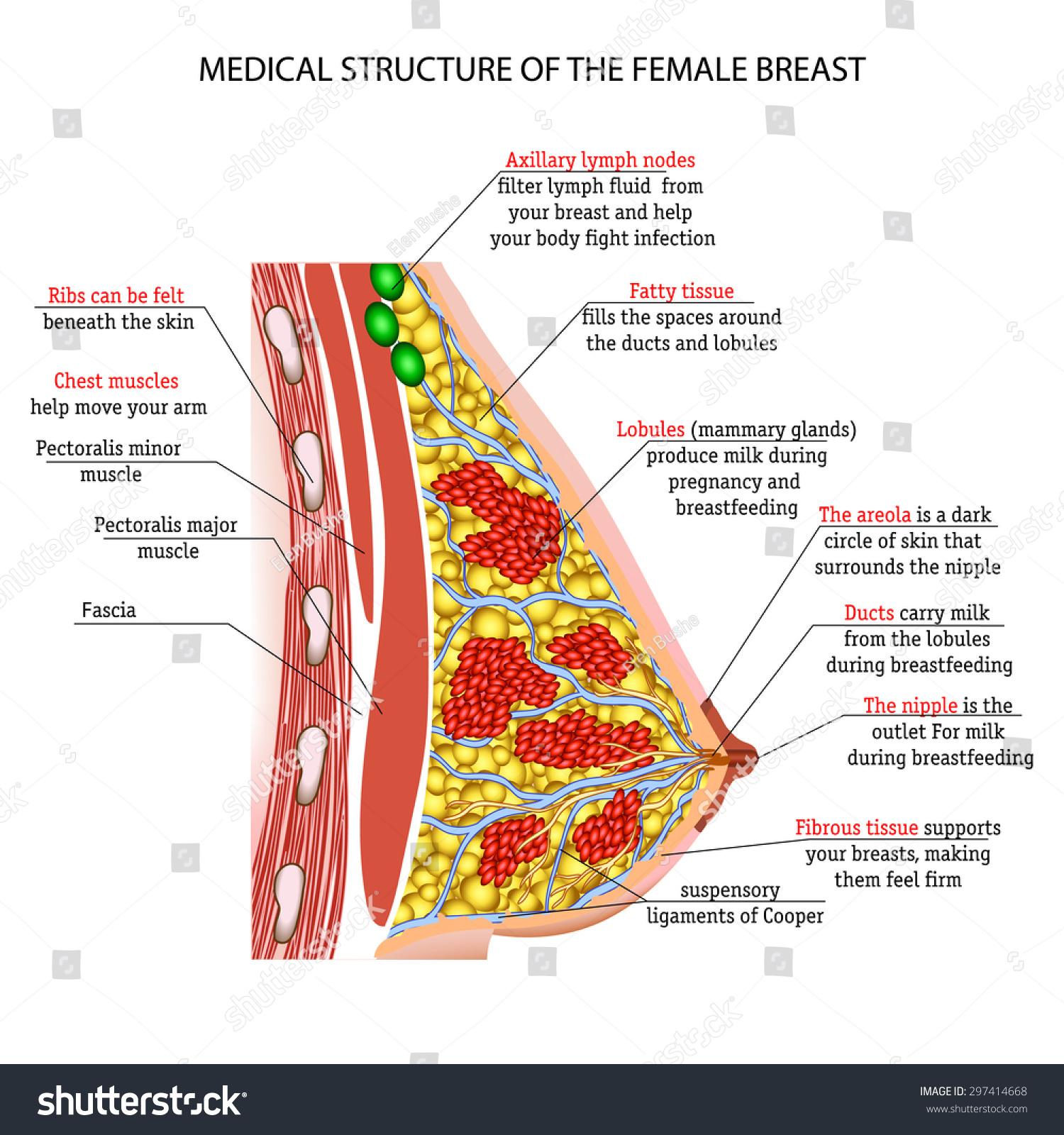 Anatomy Female Breast Stock Illustration 297414668 Shutterstock