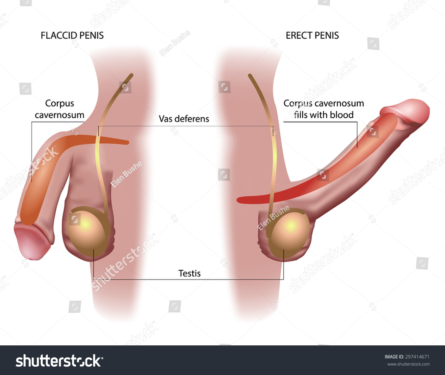 Male Penis Anatomy Stock Illustration 297414671 Shutterstock