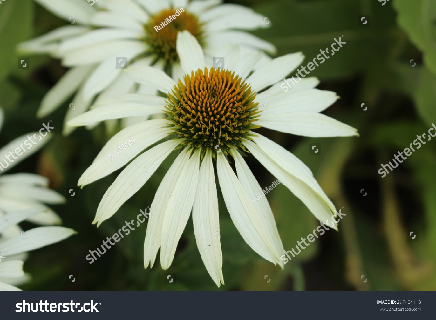 Royalty Free White Coneflower Or White Echinacea 297454118