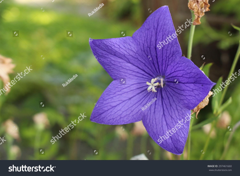 Blue Balloon Flower Or Chinese Bellflower Stock Photo Edit Now