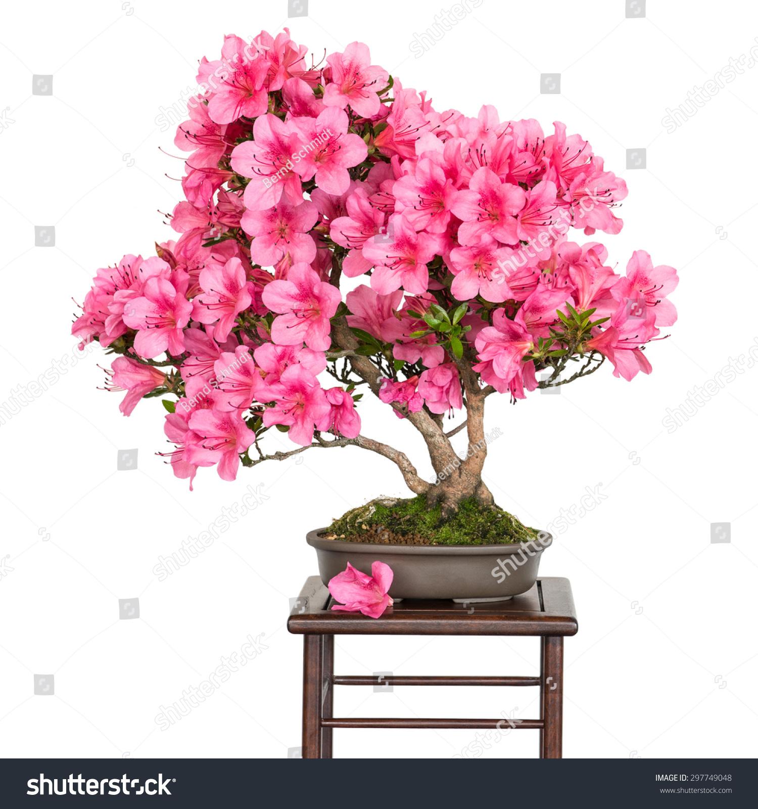 Rhododendron Indicum Osakazuki Bonsai Tree Pink Stock Photo Edit