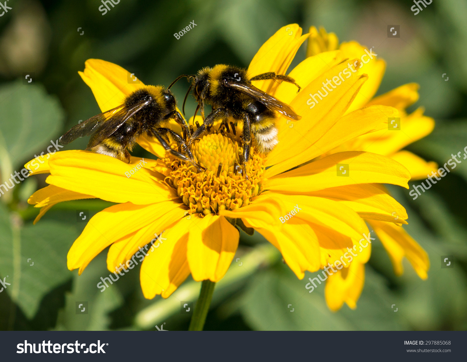 Two Bees Collects Pollen From Yellow Flowers Perennial Aster In The