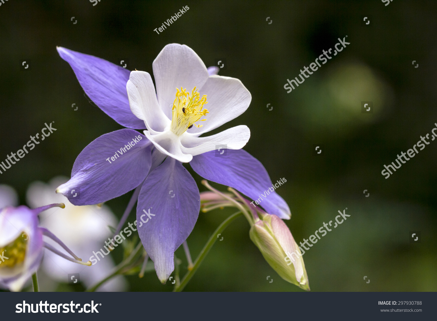 Close Up Blue Columbine Wildflower Blooms In Mountain Aspen Forest