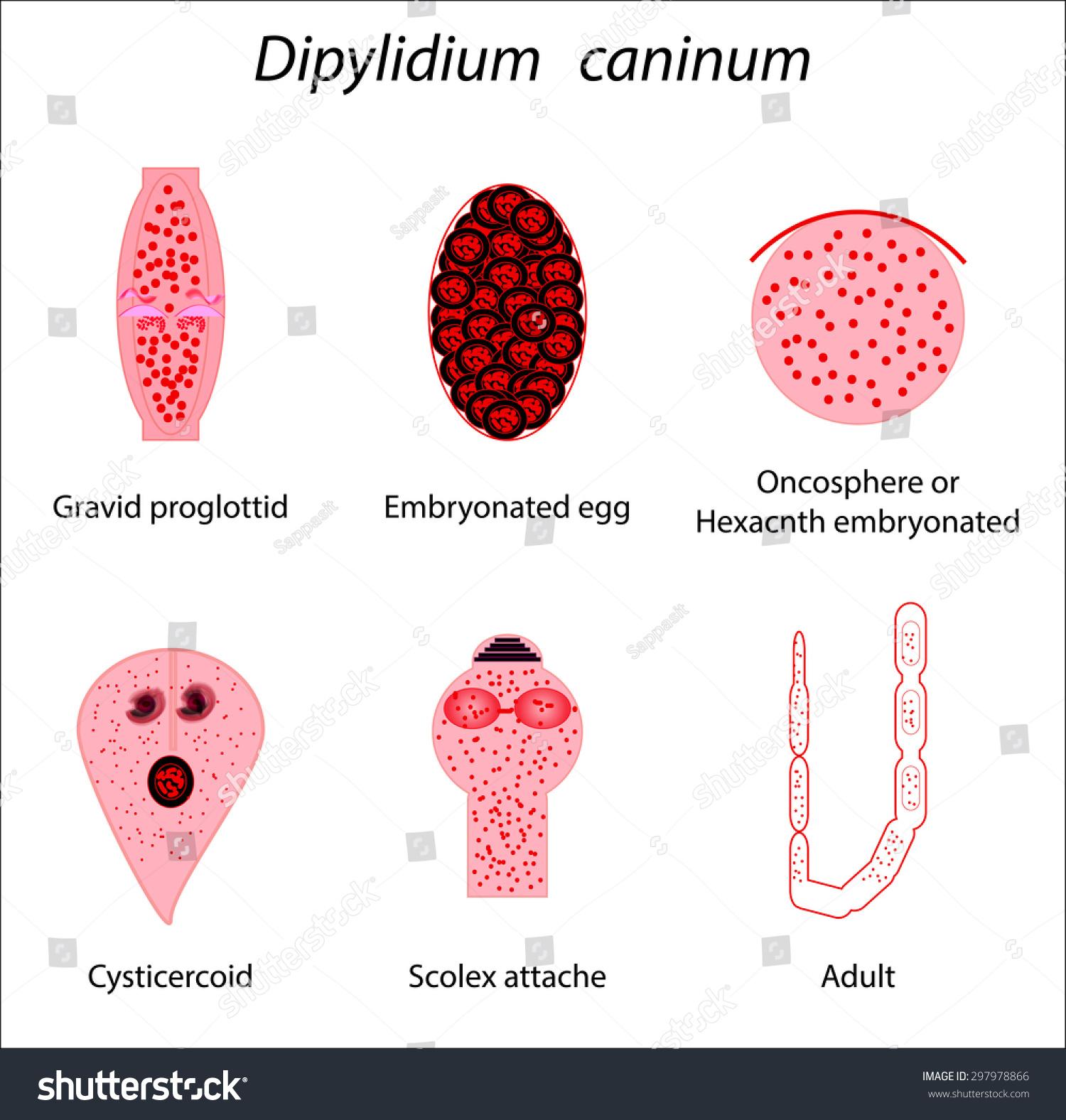 dipylidium caninum scolex