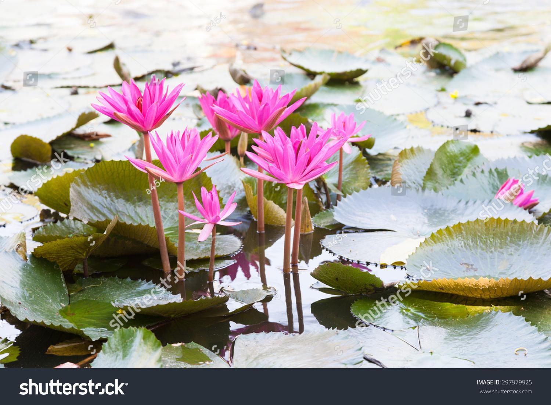 Lotus Pond Many Lotus Flowers Pond Stock Photo Edit Now 297979925
