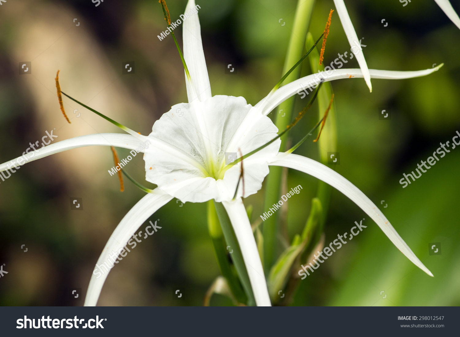 White lily like flower has long stock photo edit now 298012547 white lily like flower has long skinny petals spider lily izmirmasajfo