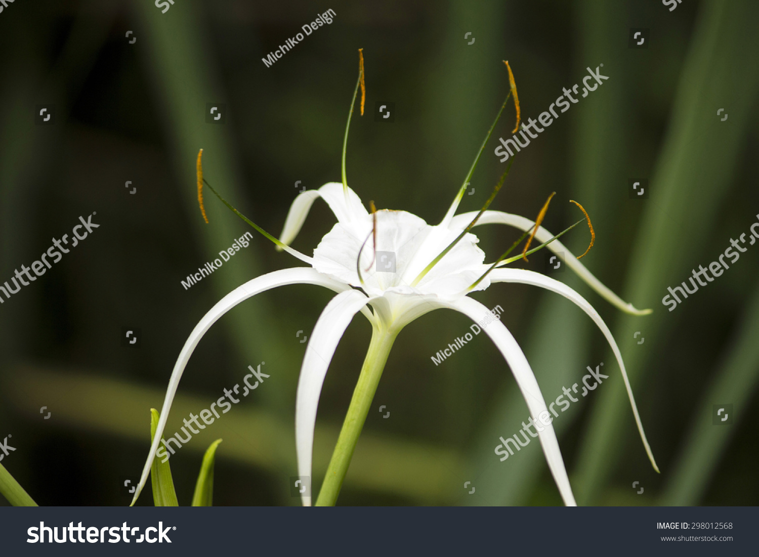 White lily like flower has long stock photo edit now 298012568 white lily like flower has long skinny petals spider lily izmirmasajfo