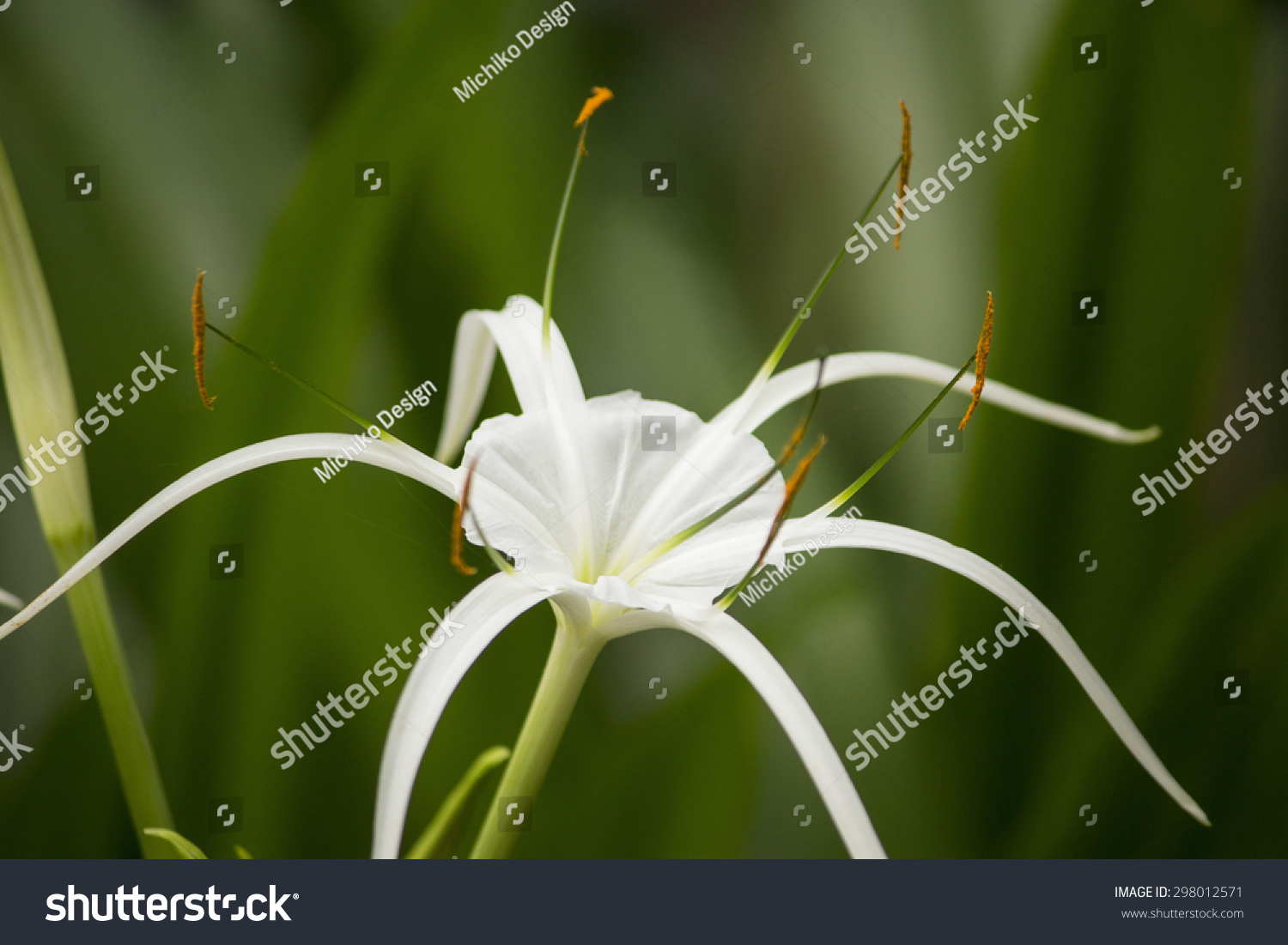 White lily like flower has long stock photo royalty free 298012571 white lily like flower has long skinny petals spider lily izmirmasajfo Image collections