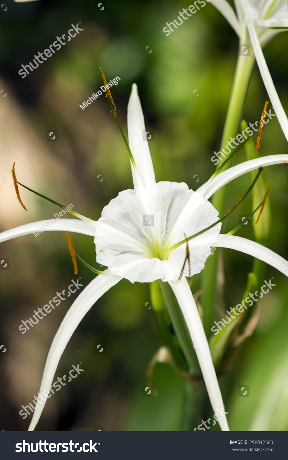White lily like flower has long stock photo download now 298012580 white lily like flower has long skinny petals spider lily izmirmasajfo