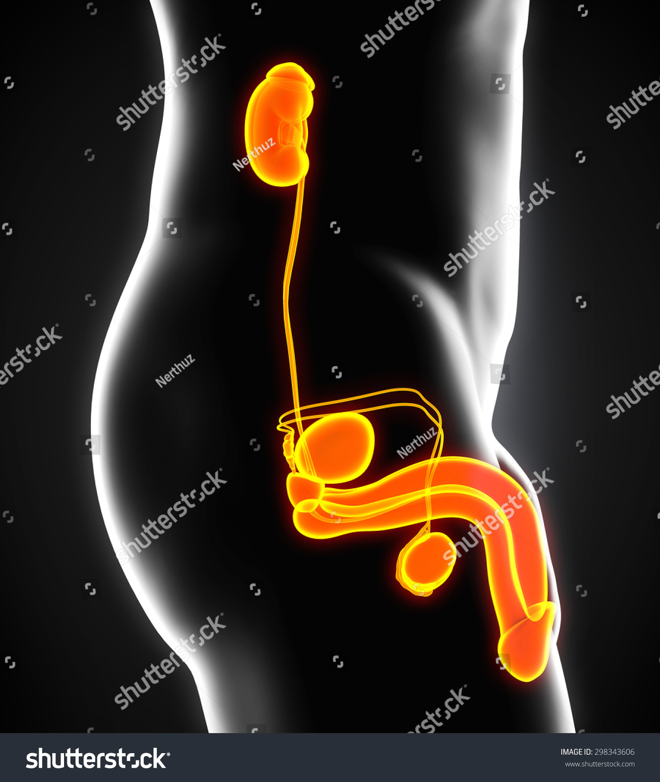 Male Genitourinary System Stock Illustration 298343606 ...