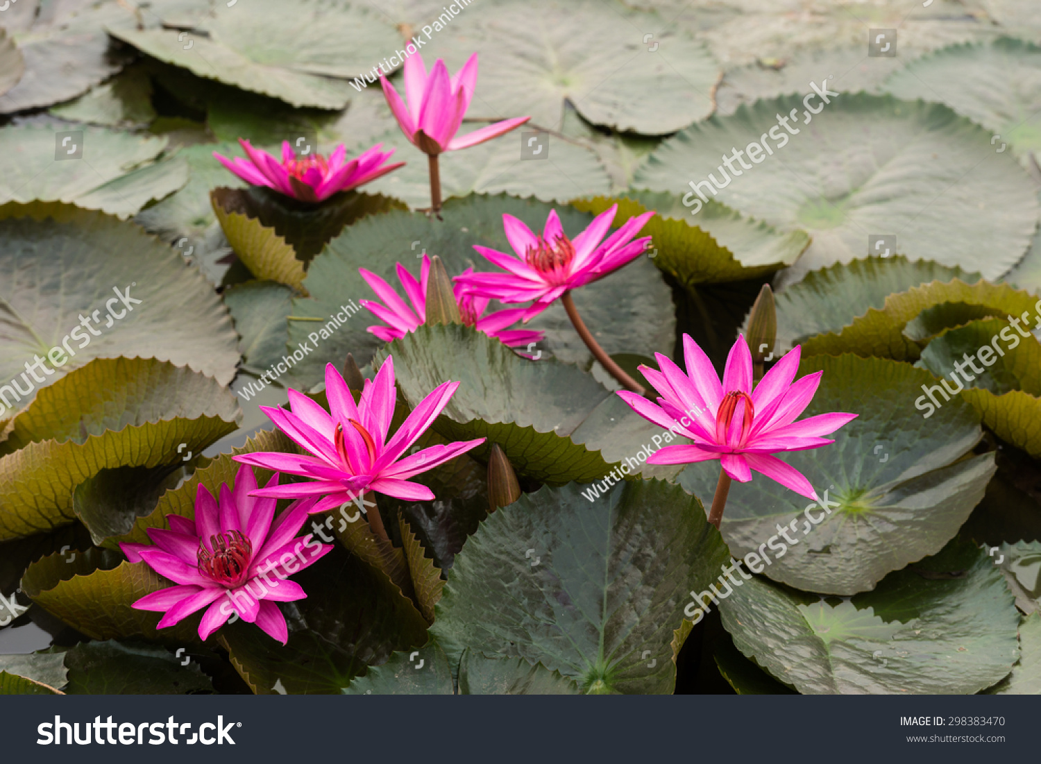 Close Up Pink Color Fresh Lotus Blossom Or Water Lily Flower