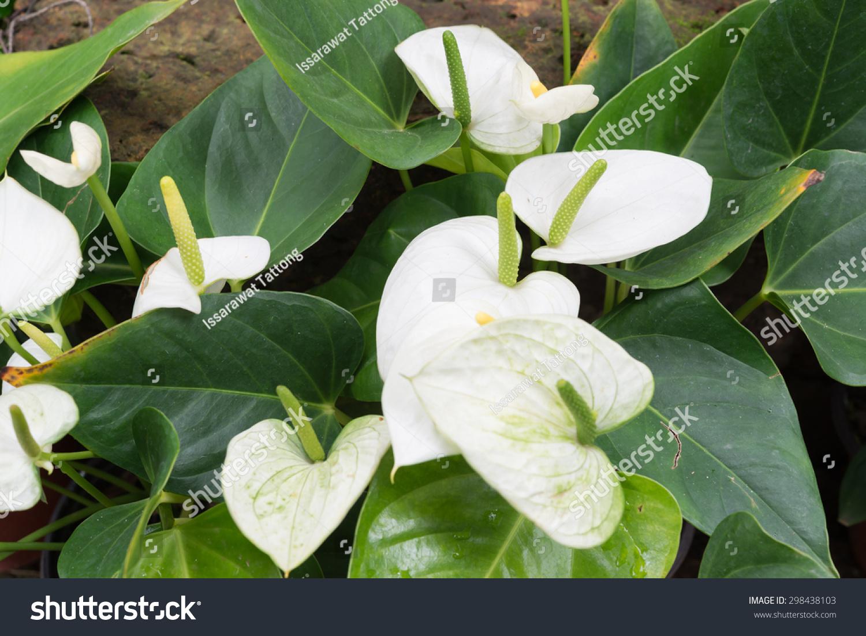 Wonderful White Anthurium Flowers With Dark Green Leaves Ez Canvas