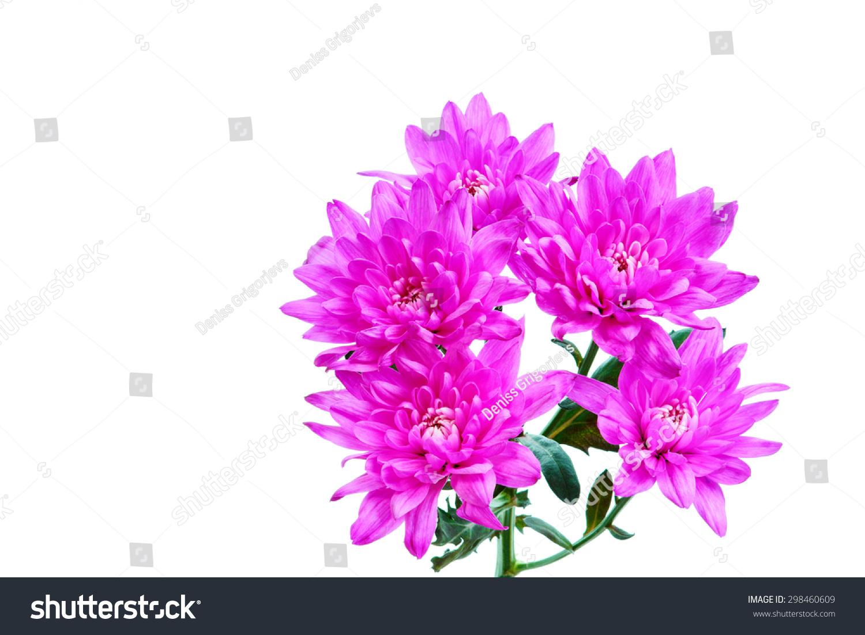 Purple dahlia flowers on white ez canvas id 298460609 izmirmasajfo