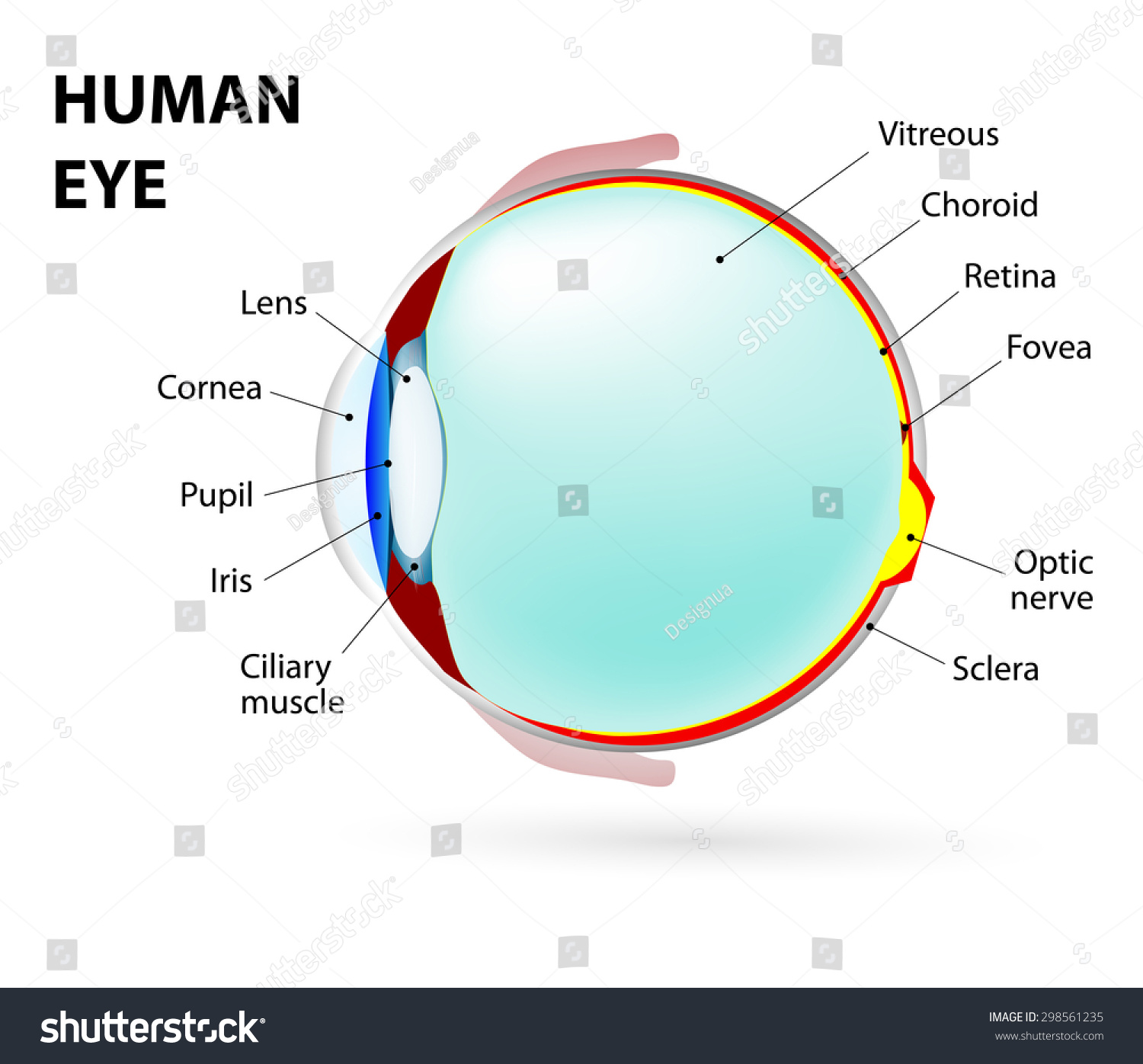 Schematic Diagram Eye Human Anatomy Labeled Stock Illustration