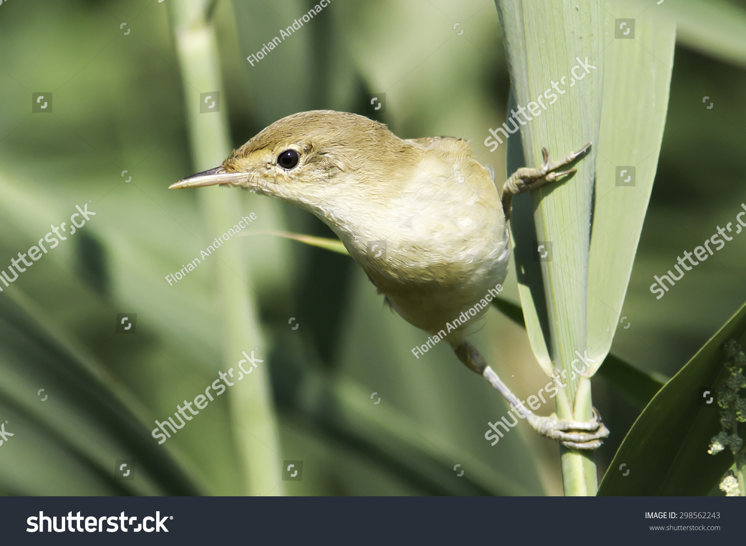 European Reed Warbler Natural Habitat Acrocephalus Stock