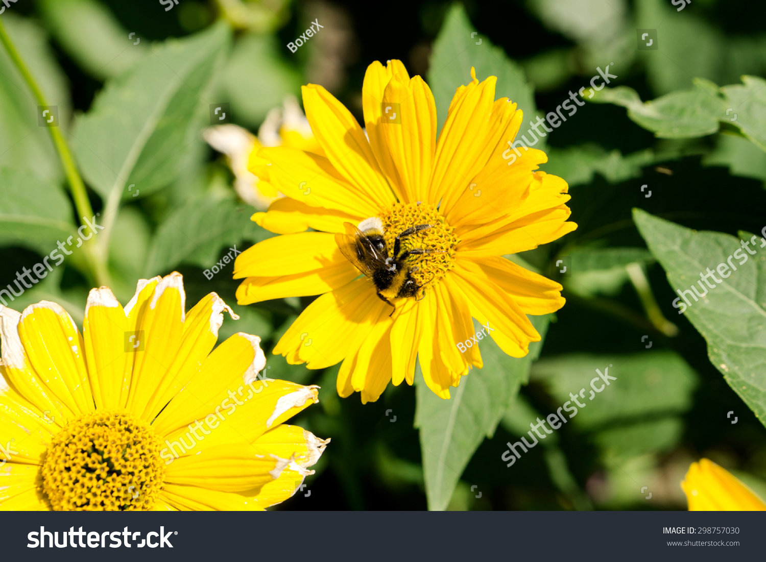 Bee Collects Pollen From Yellow Flowers Perennial Asters In The