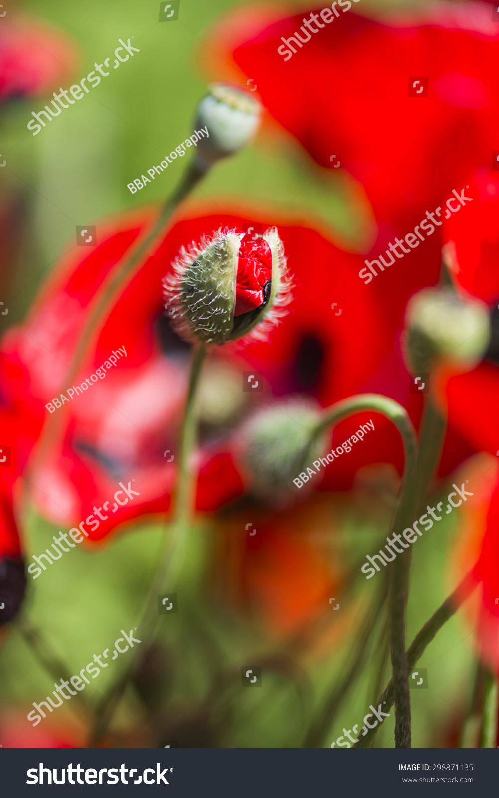 Half Opened Poppy Flower Bud Closeup Stock Photo Royalty Free