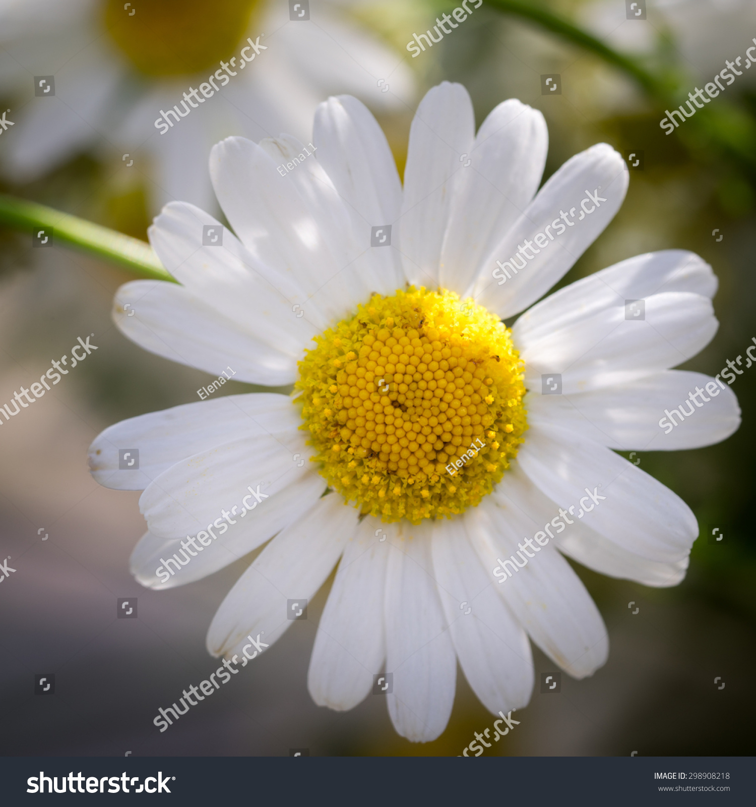 Beautiful daisy flower stock photo 298908218 shutterstock beautiful daisy flower izmirmasajfo Choice Image