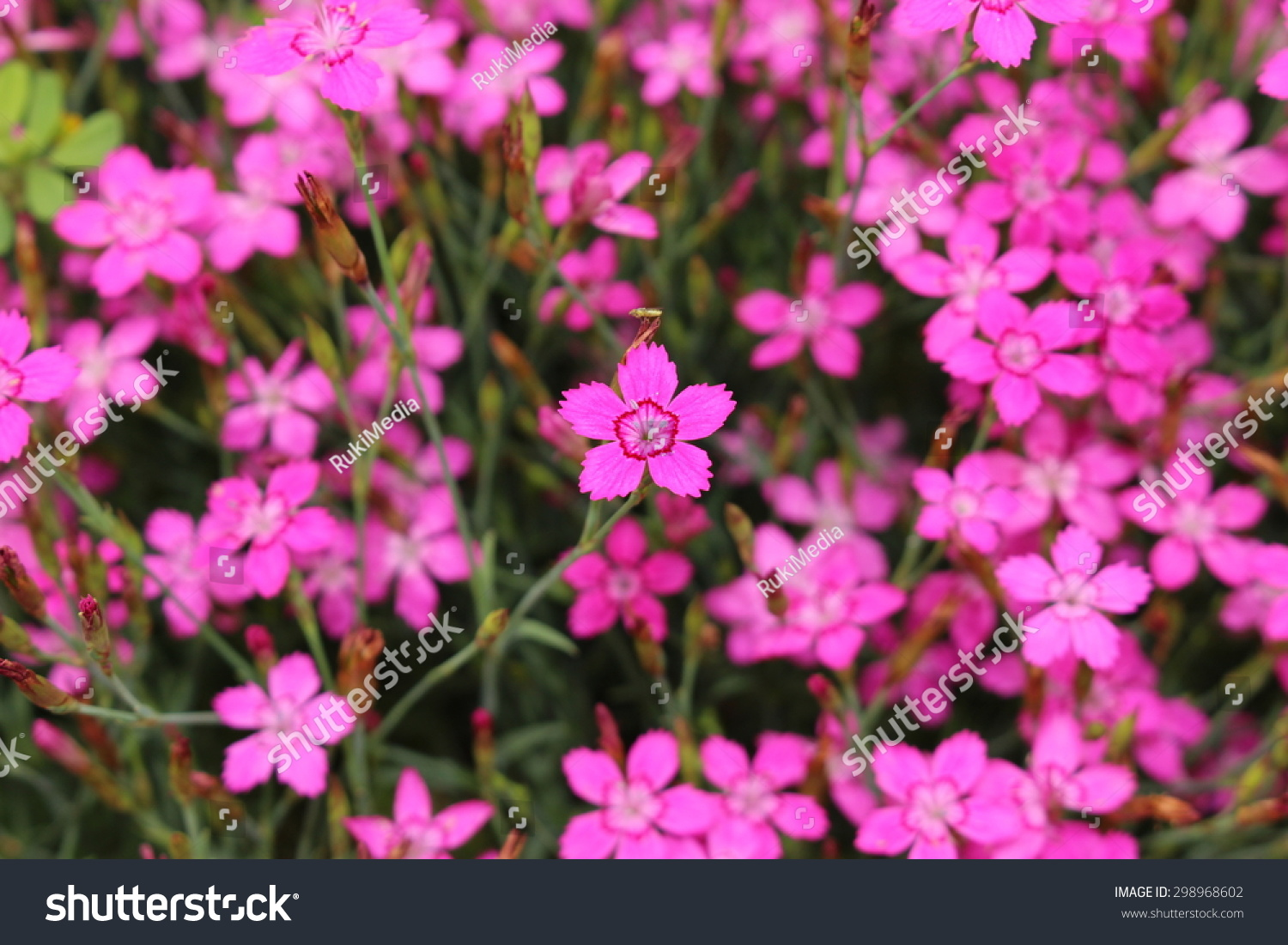 Albanian Pinks Flowers Innsbruck Austria Scientific Stock Photo