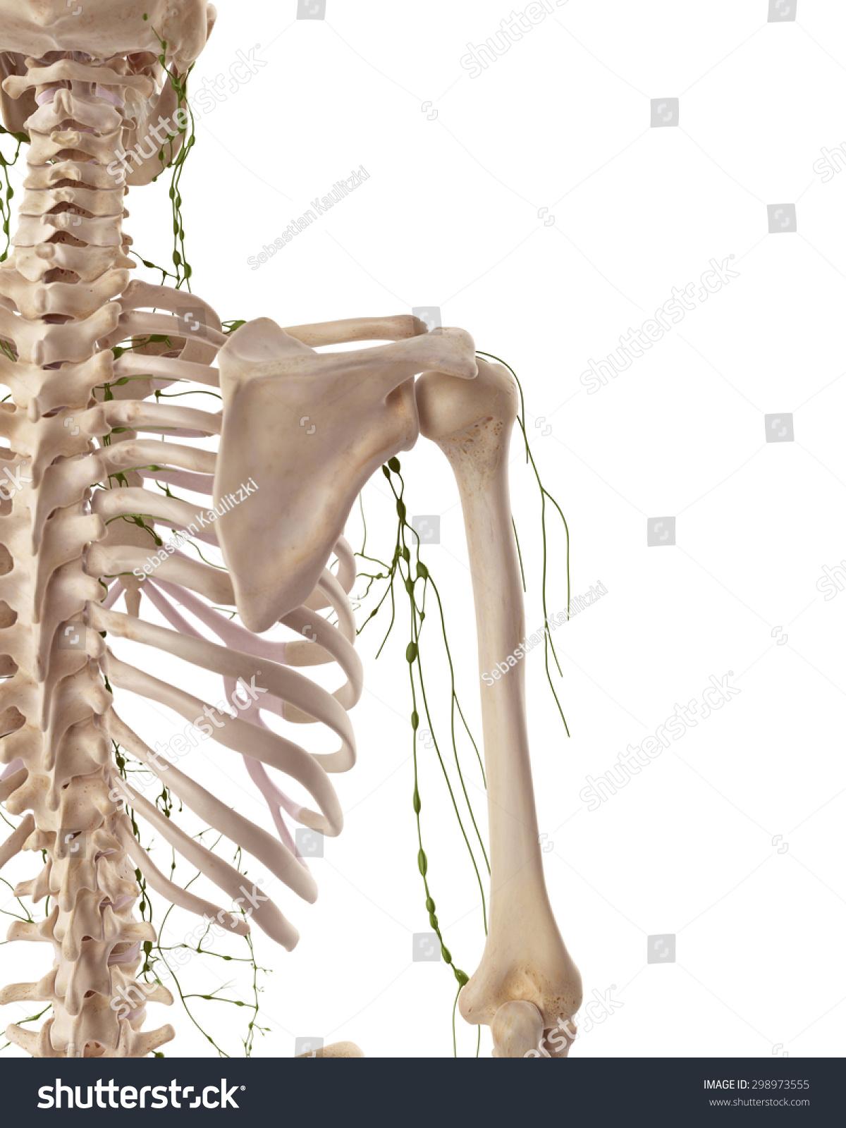 Axillary node dissection anatomy