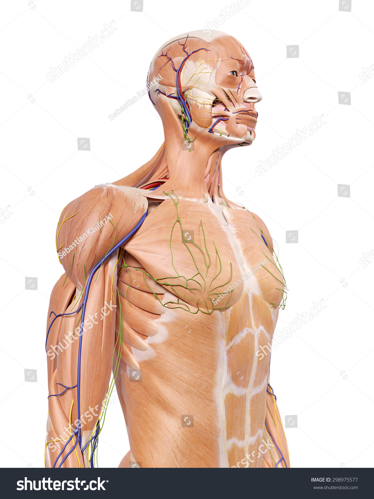 Medically Accurate Illustration Upper Body Anatomy Stock