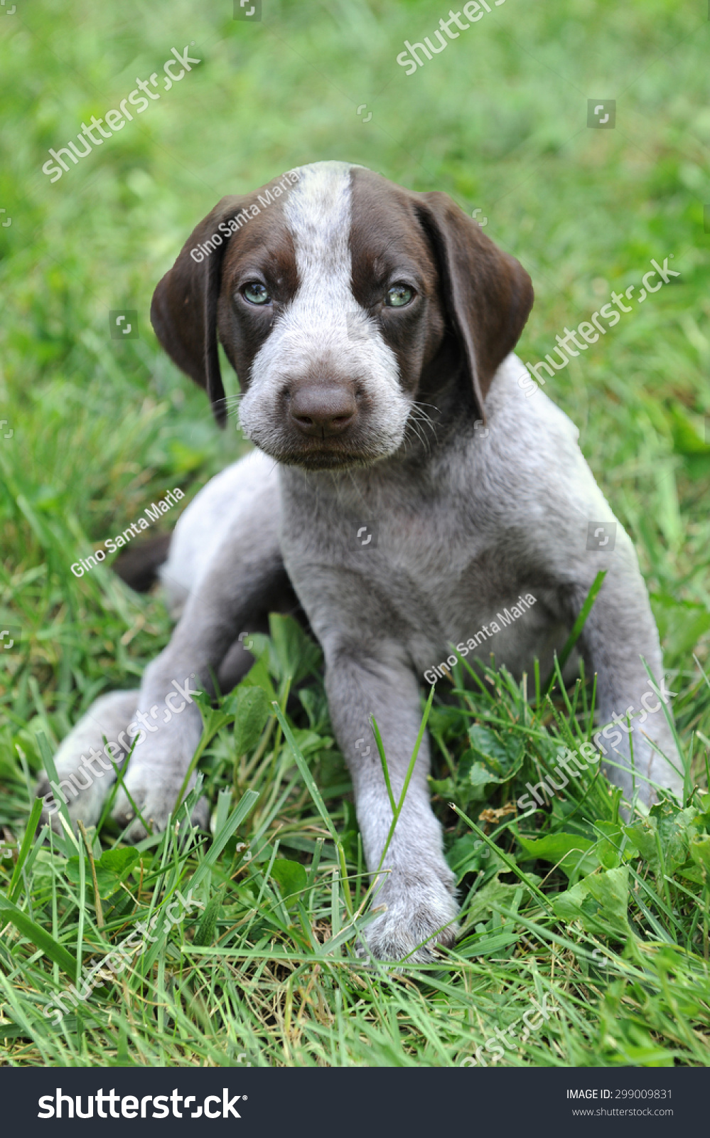 German Short Haired Pointer Puppy Laying Stock Photo & Image ...