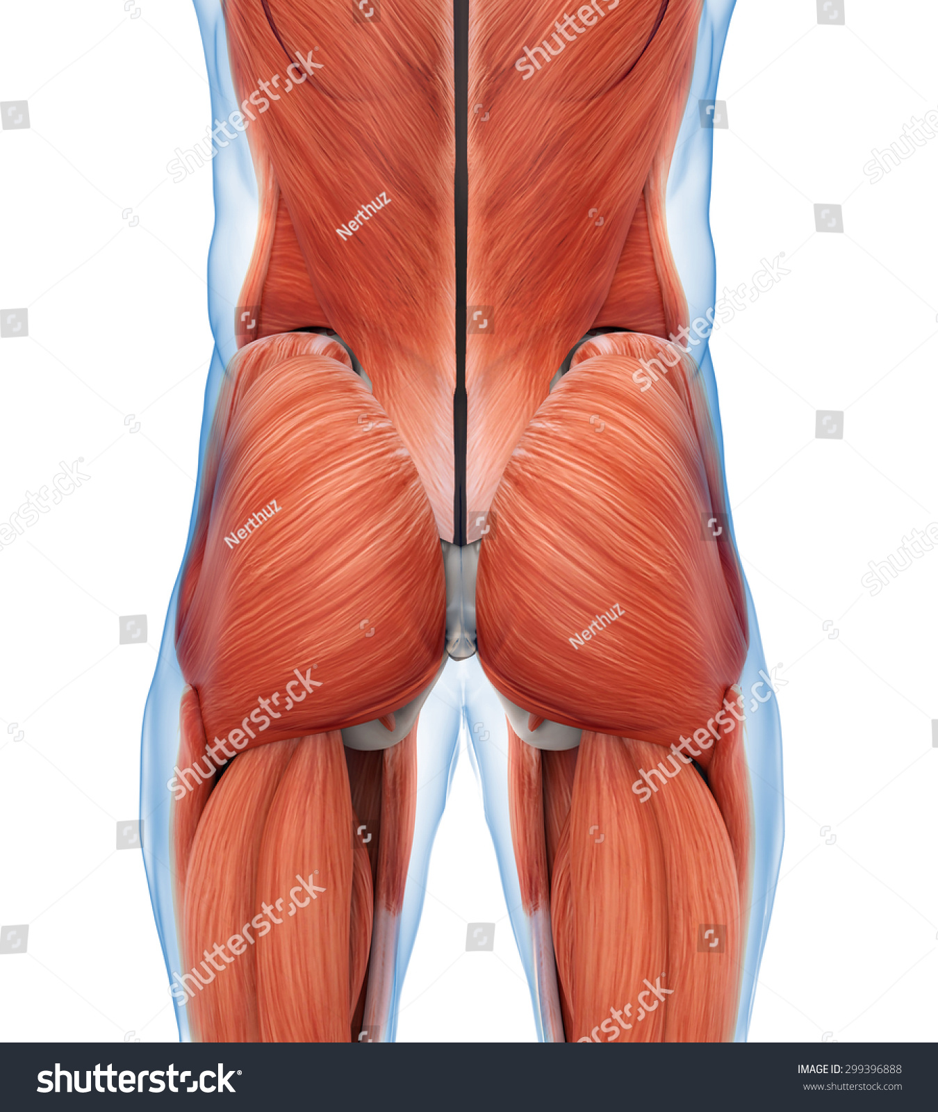 Anatomy of buttocks diagram