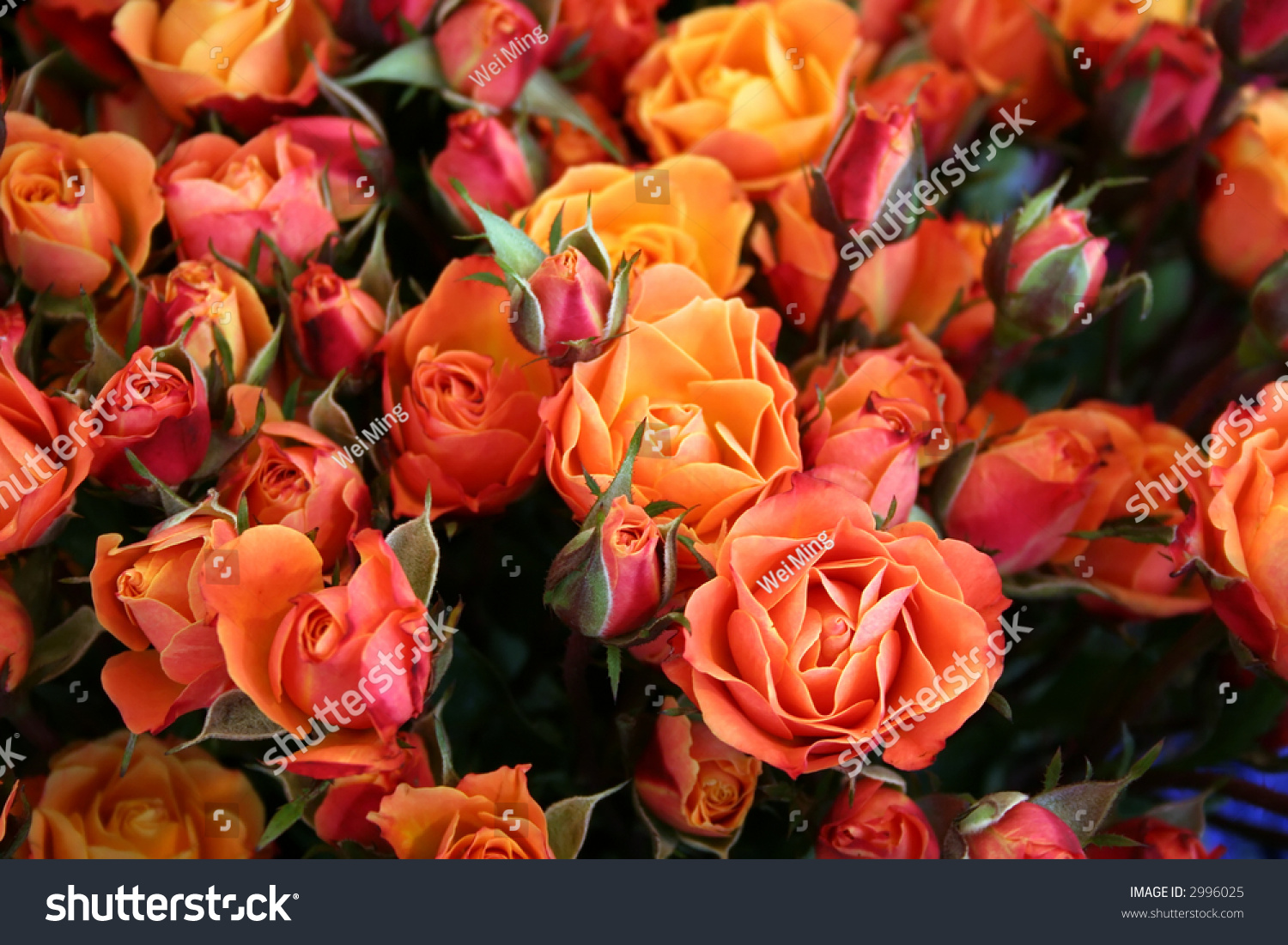 Different Shades Of Orange blossoming roses different shades crimson yellow stock photo