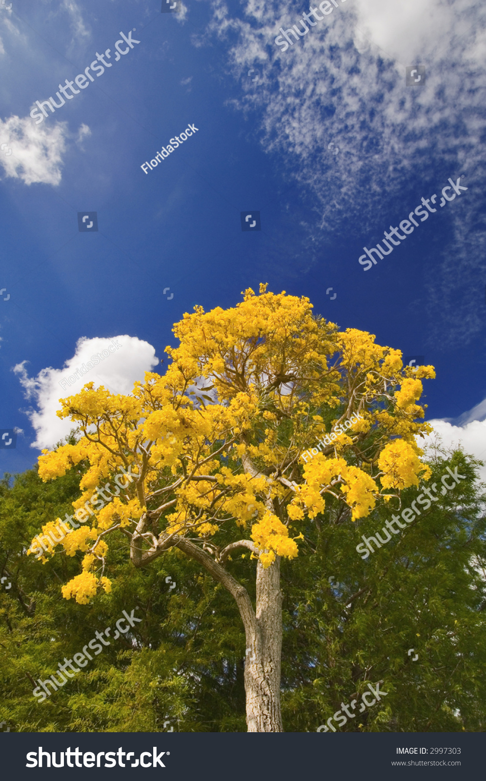 Tabebuia Tree Blooms Yellow Spring Florida Stock Photo Royalty Free