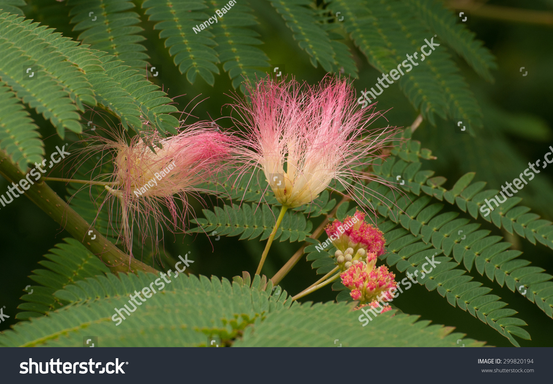 Pink Fuzzy Flowers Green Fernlike Leaves Stock Photo Edit Now