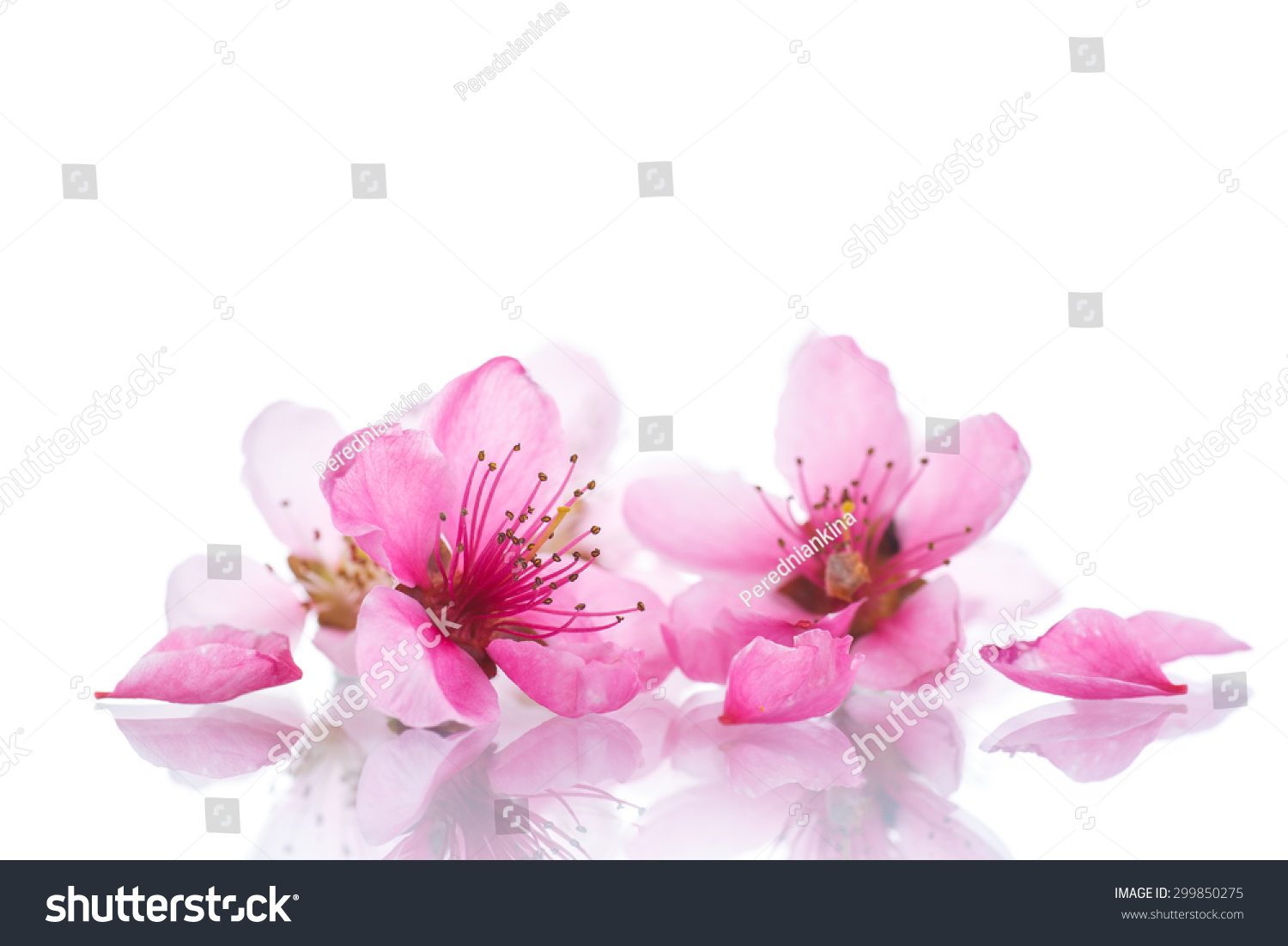 Peach Pink Flowers On White Background Stock Photo Royalty Free