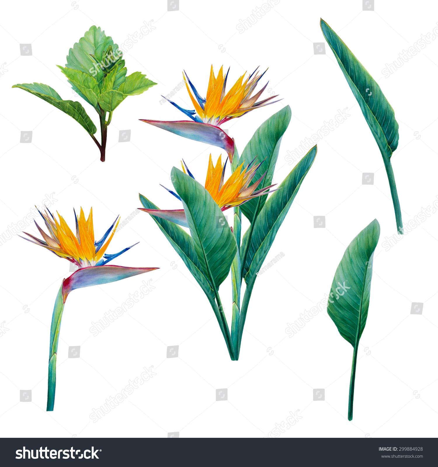 Buy a paper paradise plant