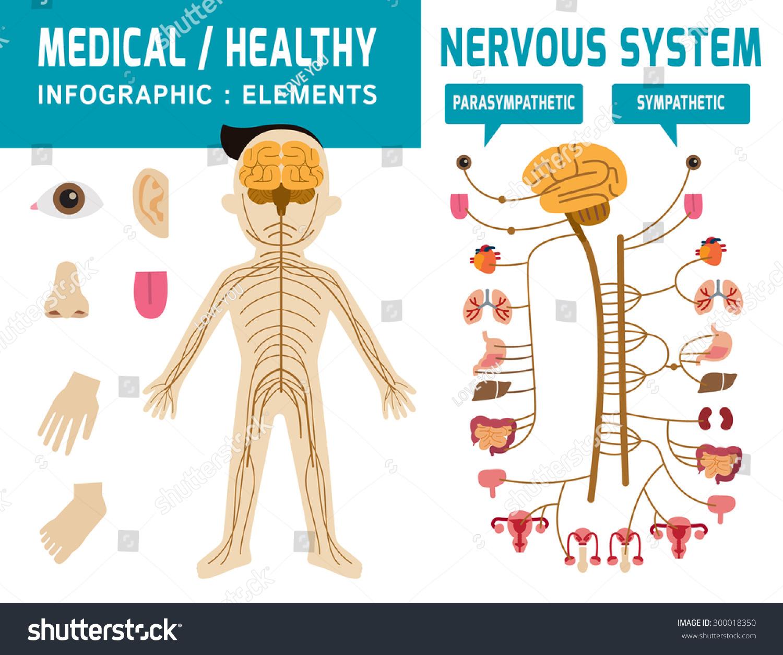 Nervous System Sympathetic System Parasympathetic System Stock ...